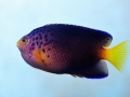 debelius angelfish