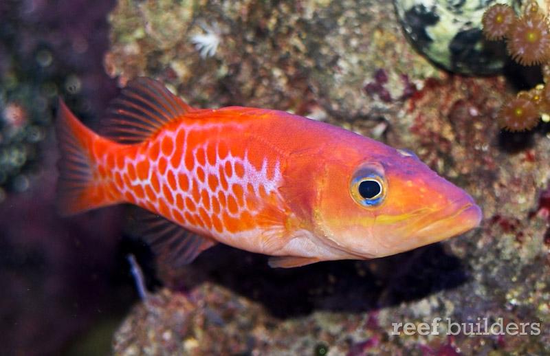 dr-seuss-fish-belonoperca-pylei-2
