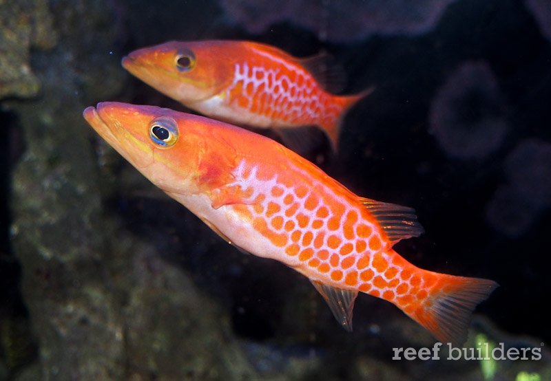 dr-seuss-fish-belonoperca-pylei