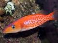 dr-seuss-fish-belonoperca-pylei-3