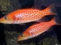 dr-seuss-fish-belonoperca-pylei-4