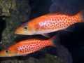 dr-seuss-fish-belonoperca-pylei-5