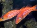 dr-seuss-fish-belonoperca-pylei-6