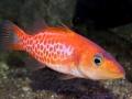 dr-seuss-fish-belonoperca-pylei-7