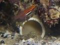 E. atriventris 9.jpg