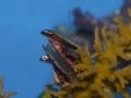 E. nigriventris 3.jpg