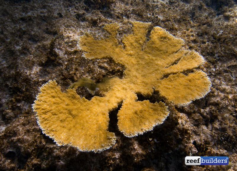 acropora-palmata-elkhorn-coral-10