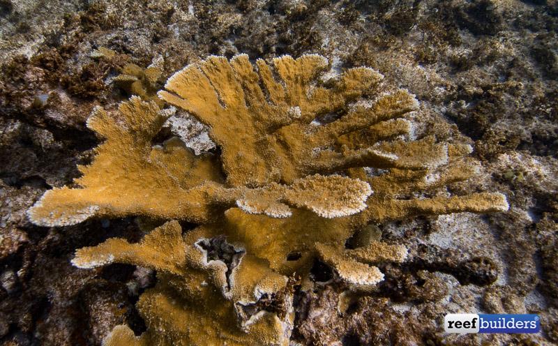 acropora-palmata-elkhorn-coral-5