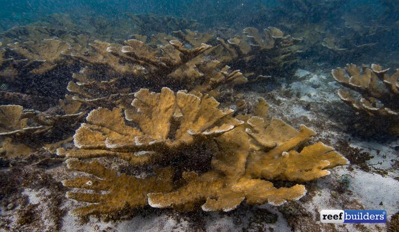 acropora-palmata-elkhorn-coral-6