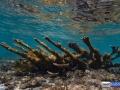 acropora-palmata-elkhorn-coral-1