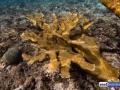 acropora-palmata-elkhorn-coral-4