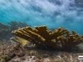 acropora-palmata-elkhorn-coral-7