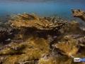 acropora-palmata-elkhorn-coral-8