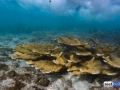 acropora-palmata-elkhorn-coral-9