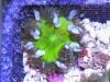 flower anemone 4