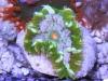 flower anemone 5