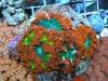 flower anemone 8