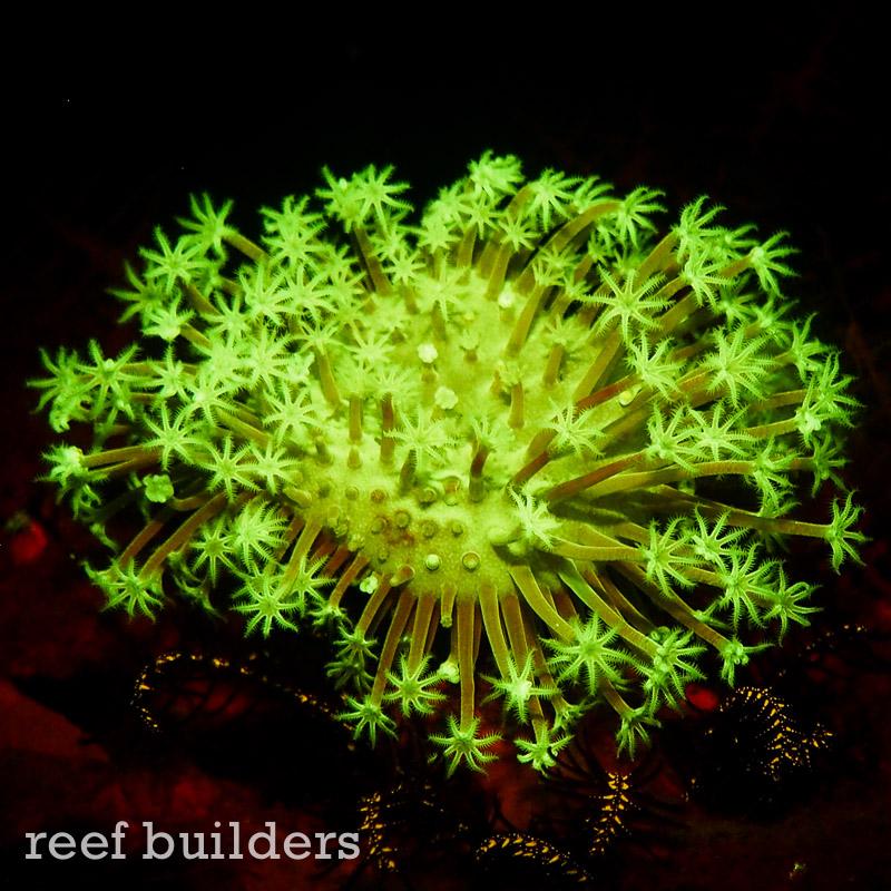 fluorescent-coral=night-dive-10