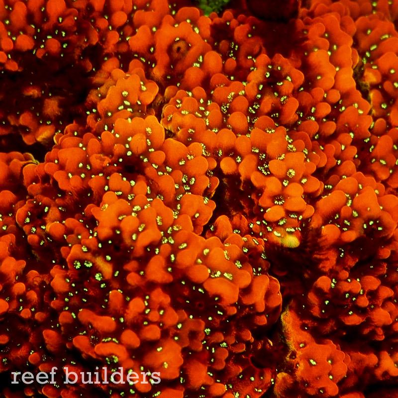 fluorescent-coral=night-dive-12