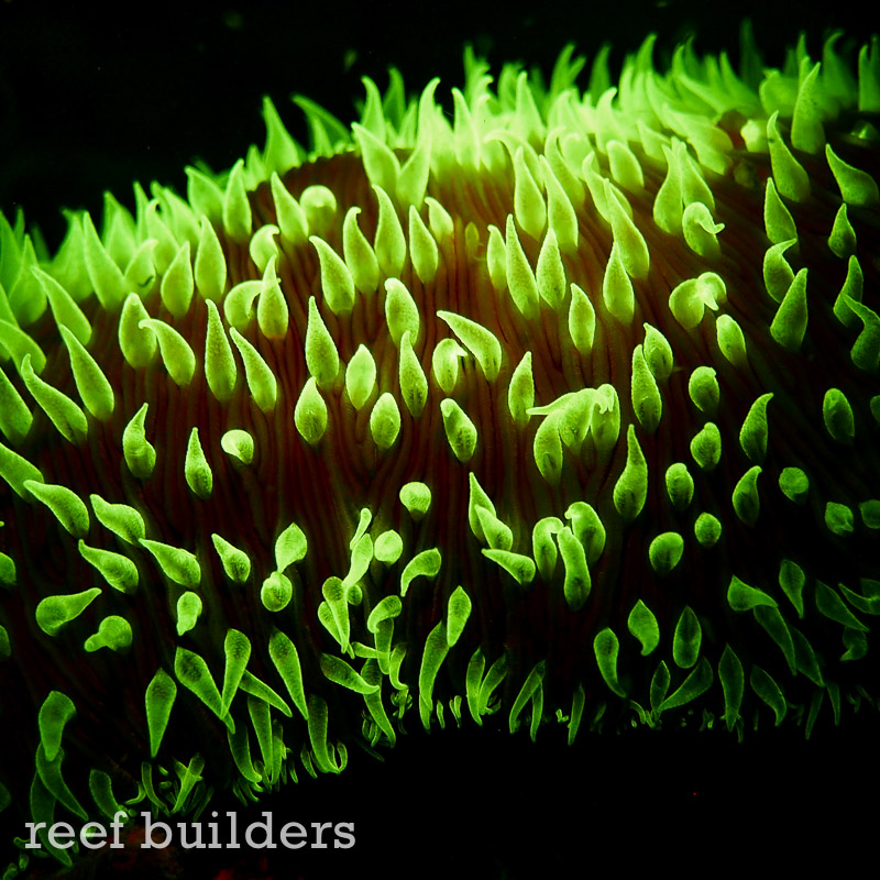 fluorescent-coral=night-dive-13