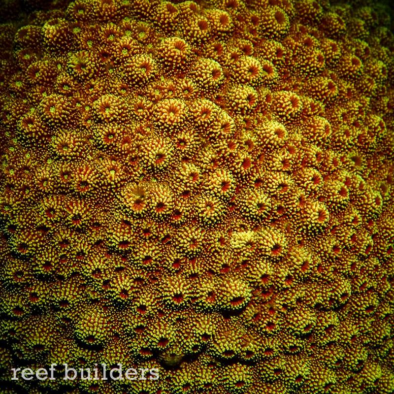 fluorescent-coral=night-dive-9