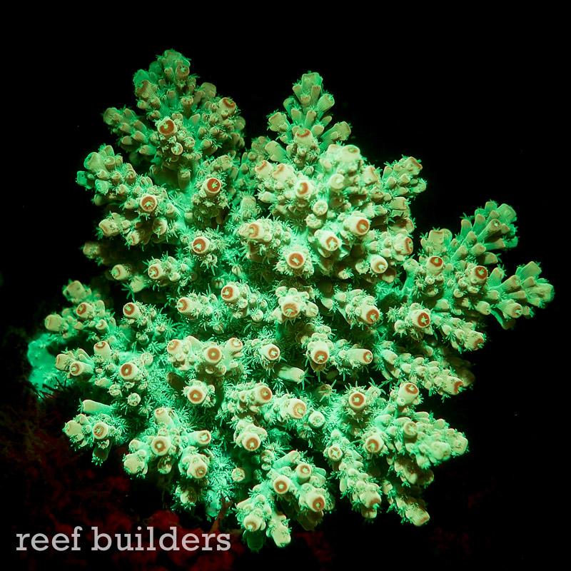 fluorescent-coral=night-dive-3