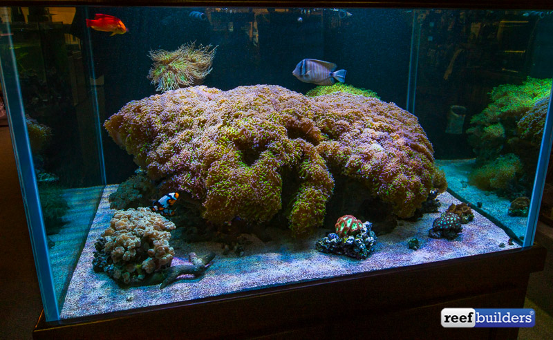 giant-hammer-coral-euphyllia-ancora-1