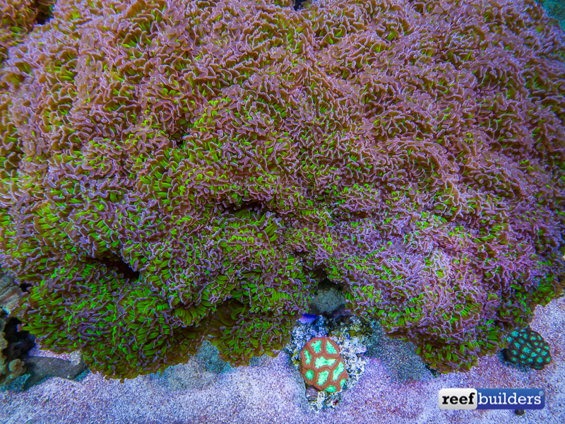 giant-hammer-coral-euphyllia-ancora-10