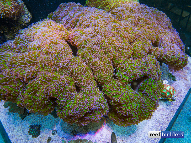 giant-hammer-coral-euphyllia-ancora-12