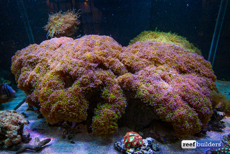 giant-hammer-coral-euphyllia-ancora-13