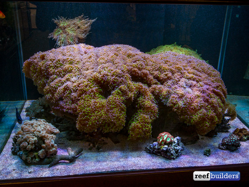 This giant hammer coral IS the aquascape! - Reef Builders : The Reef and Marine Aquarium Blog