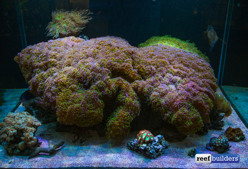 giant-hammer-coral-euphyllia-ancora-6