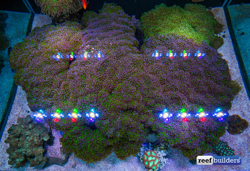 giant-hammer-coral-euphyllia-ancora-9