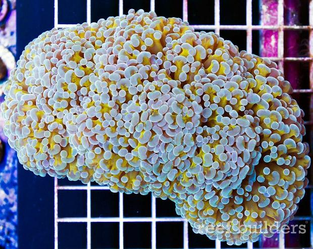 gold hamspawn coral