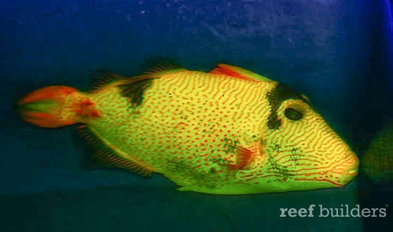 xanthic-golden-triggerfish