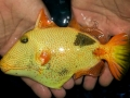 xanthic-golden-triggerfish-2