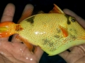 xanthic-golden-triggerfish-3