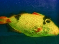 xanthic-golden-triggerfish
