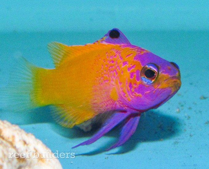 Gramma DeJongi Hybrid DeJong Marine Life :: Reefbuilders.com
