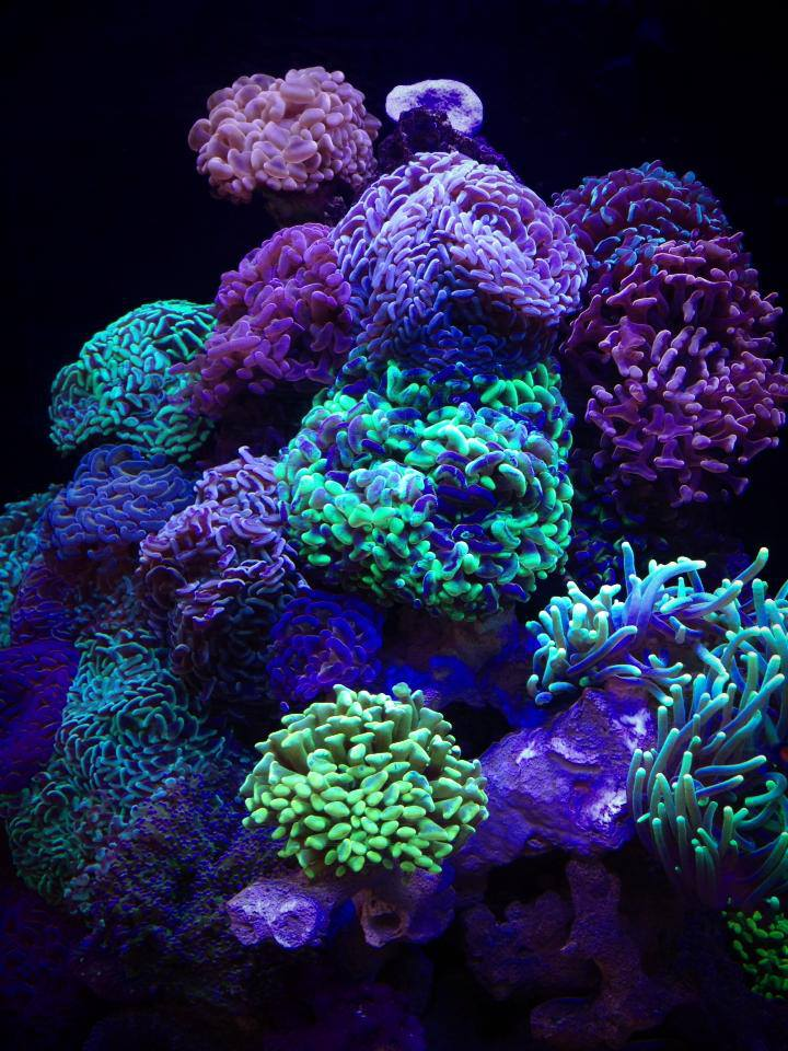 The Hammer Coral Cube Is A Euphyllia Dominated Masterpiece Reef Builders The Reef And Marine