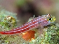 striped-triplefin-jpg