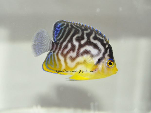 hybrid-paracentropyge