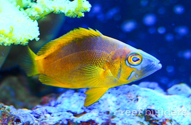 The golden hamlet is one of the crown jewels of caribbean for Caribbean reef fish