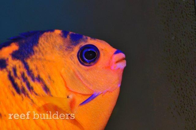 koi coral beauty