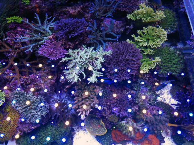 ニュージーランドのmaxspect led水槽 reef builders japanese