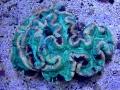 trachyphyllia-coral-2