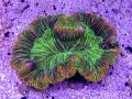 trachyphyllia-coral-5