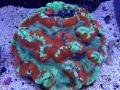trachyphyllia-coral