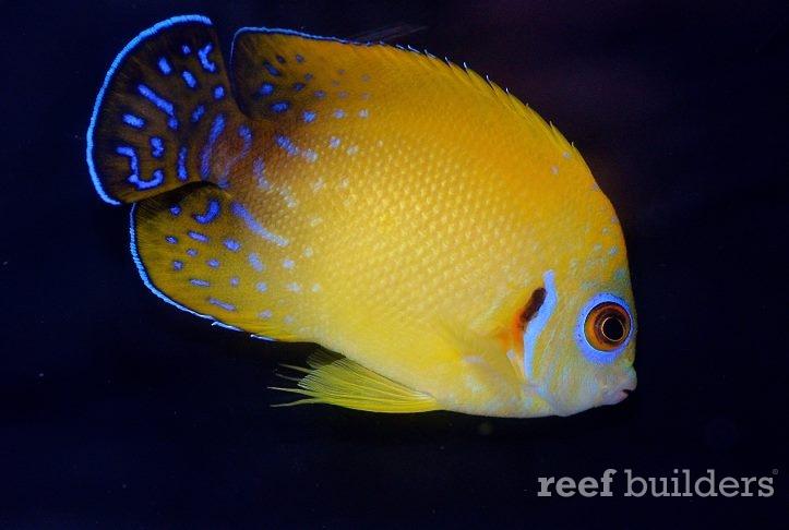 lemon-hybrid