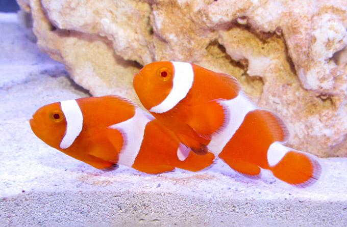 Tangerine clownfish :: Reefbuilders